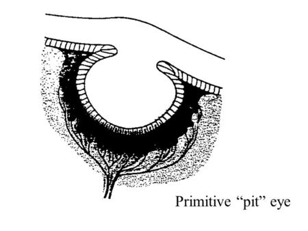 Primitive pit eye. Vertebrate eye Blood vessels covering human retina.