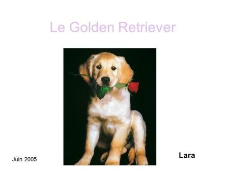 Le Golden Retriever Lara Juin 2005.