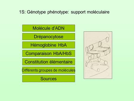 1S: Génotype phénotype: support moléculaire