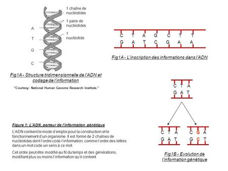 C T A G C T T G A T C G A A Fig1A - Linscription des informations dans lADN Courtesy: National Human Genome Research Institute. Fig1A - Structure tridimensionnelle.