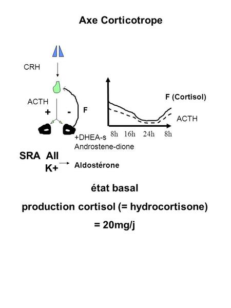 + - 8h 16h 24h 8h ACTH F (Cortisol) ACTH F Axe Corticotrope état basal production cortisol (= hydrocortisone) = 20mg/j CRH +DHEA-s Androstene-dione Aldostérone.