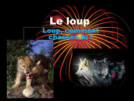 Loup, comment chasses-tu ?