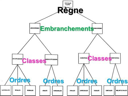 Règne Embranchements Classes Classes Ordres OrdresOrdres Ordres.