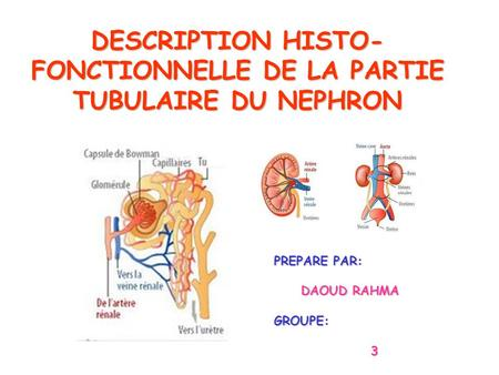 DESCRIPTION HISTO- FONCTIONNELLE DE LA PARTIE TUBULAIRE DU NEPHRON PREPARE PAR: DAOUD RAHMA DAOUD RAHMAGROUPE: 3.