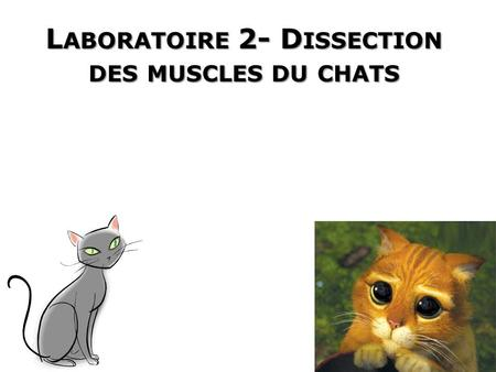 Laboratoire 2- Dissection des muscles du chats