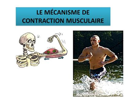 LE MÉCANISME DE CONTRACTION MUSCULAIRE. Avant la contraction (en mg/ g de muscle frais) Après la contraction (en mg/ g de muscle frais Conditions.