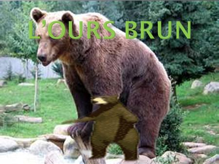 L'ours brun.