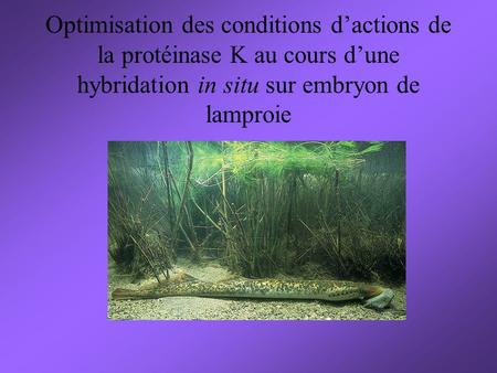 Optimisation des conditions d'actions de la protéinase K au cours d'une hybridation in situ sur embryon de lamproie.