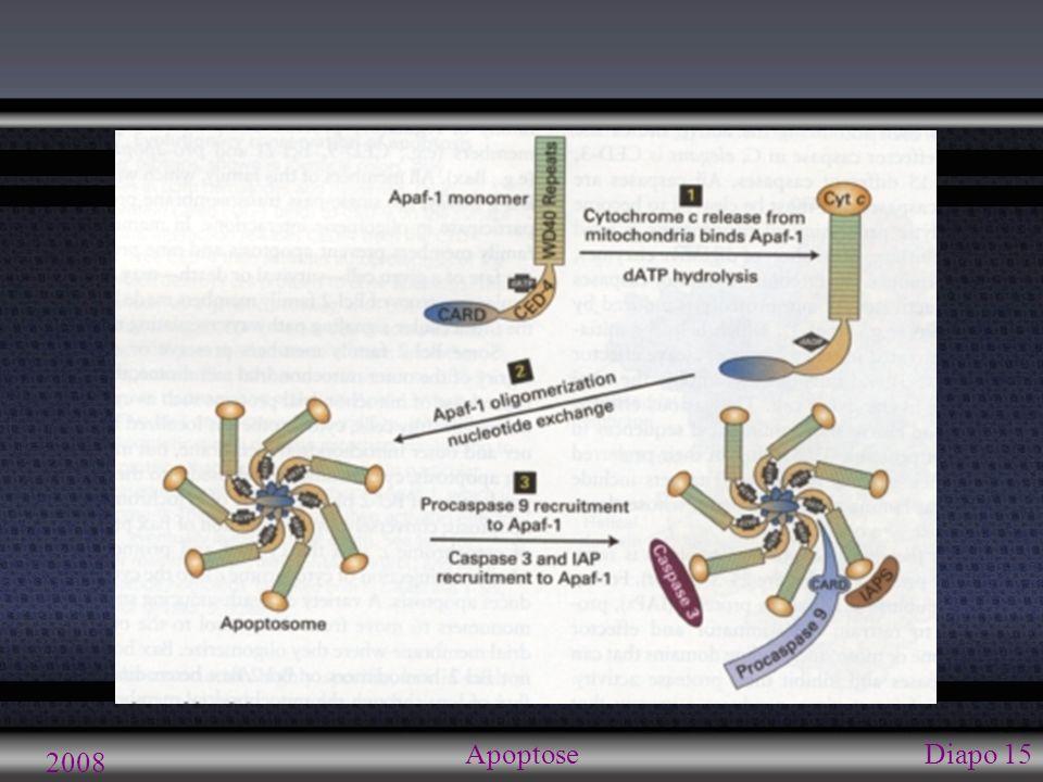 2008 ApoptoseDiapo 16 Voie mitochondriale: caspases Apoptosomes procaspase-9 (inactive)=> caspase-9 (active) Caspase-9 hydrolyse et activent caspase-3 et -7 Caspases -3 et 7: protéines exécutrices hydrolysent protéines Cascade d activités protéolytiques (caspases et autres) Dégradation du csq + autres structures cellulaires Nucléolyse (fragmentation ADN)