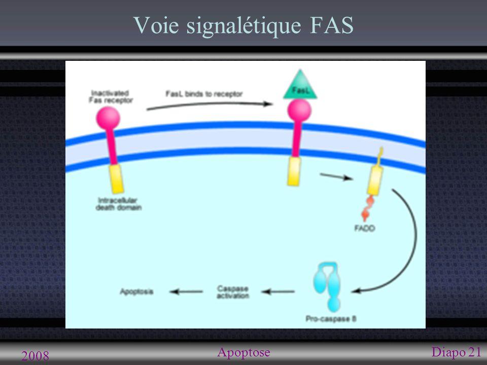 2008 ApoptoseDiapo 22 Voie signalétique FAS FASL lie FAS FAS active FADD FADD active caspase-8 Caspase-8 induit la cascade protéolytique de l apoptose