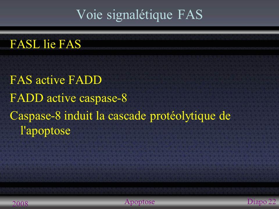 2008 ApoptoseDiapo 23 Voie sans caspase AIF ( Apoptosis incuding factor ) Normalement espace intermembranaire mitochondries Signal de déclenchement d apoptose AIF libéré dans le cytoplasme -> noyau -> lie ADN Induit la destruction de l ADN (et mort cellulaire) Surtout neurones