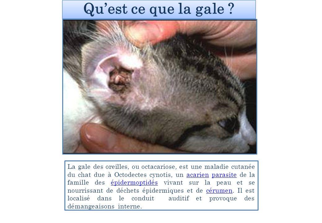 La contamination .Cette parasitose est très répandue chez les chats qui vivent en groupe.