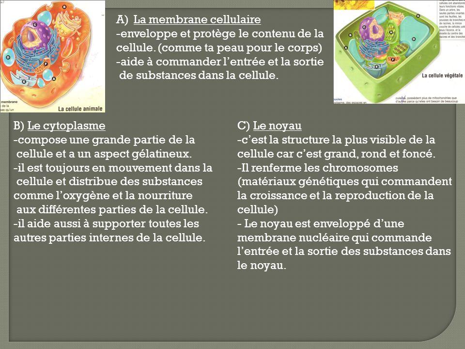 D) Les vacuoles - Ce sont des espaces en charge de stocker la nourriture, les déchets et autres substances que la cellule ne peut pas utiliser maintenant.