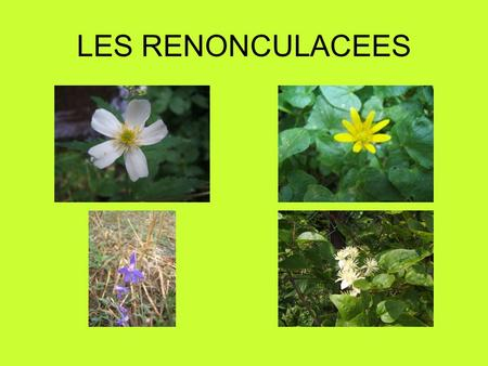 LES RENONCULACEES.