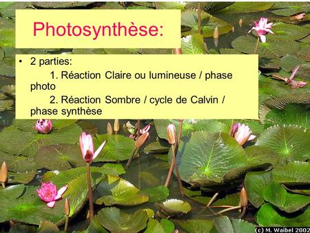 Photosynthèse: 2 parties: 1. Réaction Claire ou lumineuse / phase photo 2. Réaction Sombre / cycle de Calvin / phase synthèse.
