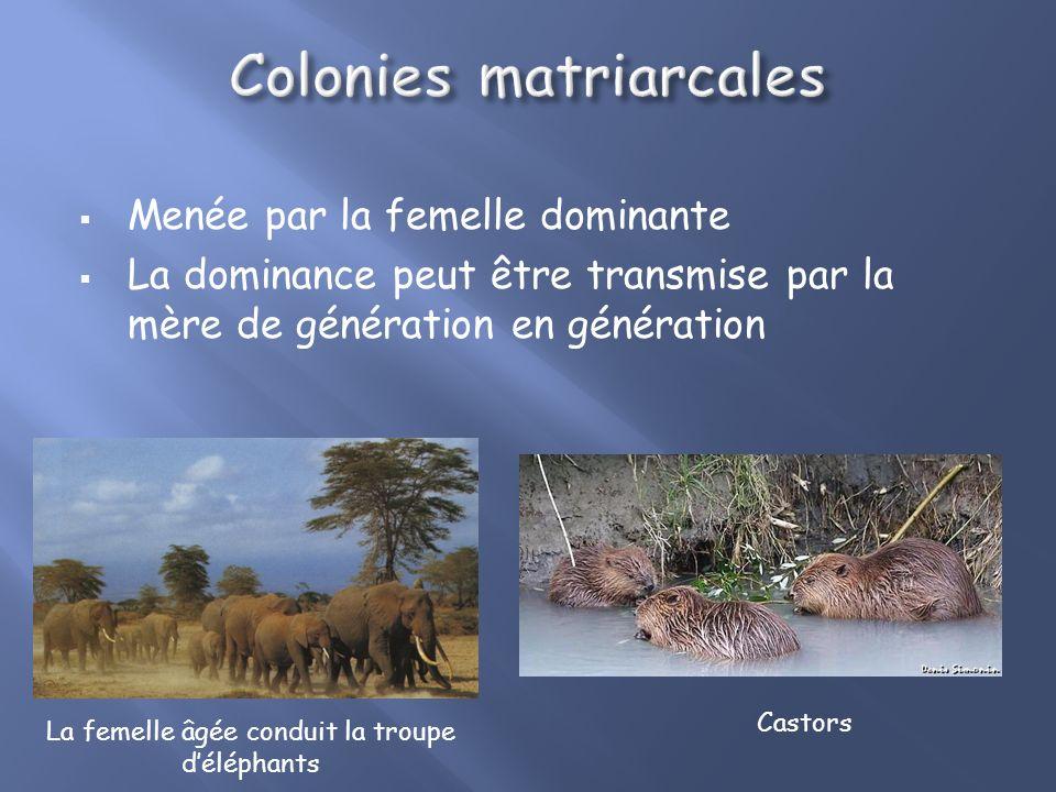 Menée par la femelle dominante La dominance peut être transmise par la mère de génération en génération Castors La femelle âgée conduit la troupe déléphants