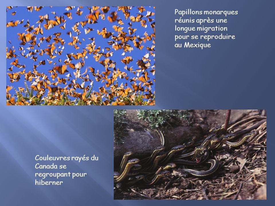 Papillons monarques réunis après une longue migration pour se reproduire au Mexique Couleuvres rayés du Canada se regroupant pour hiberner