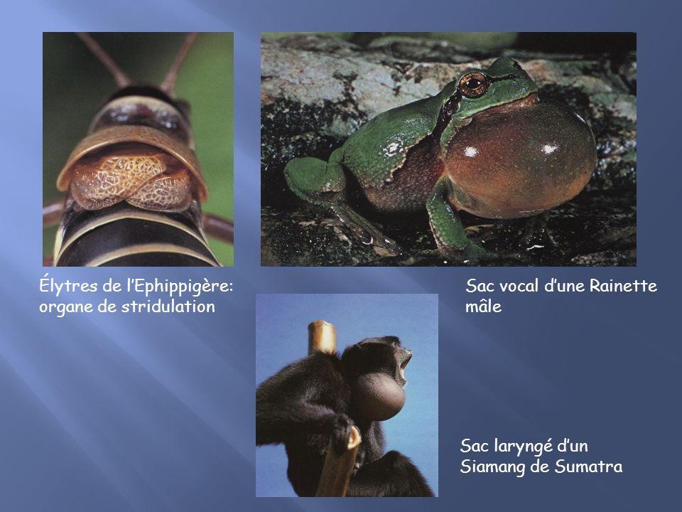 Sac laryngé dun Siamang de Sumatra Élytres de lEphippigère: organe de stridulation Sac vocal dune Rainette mâle