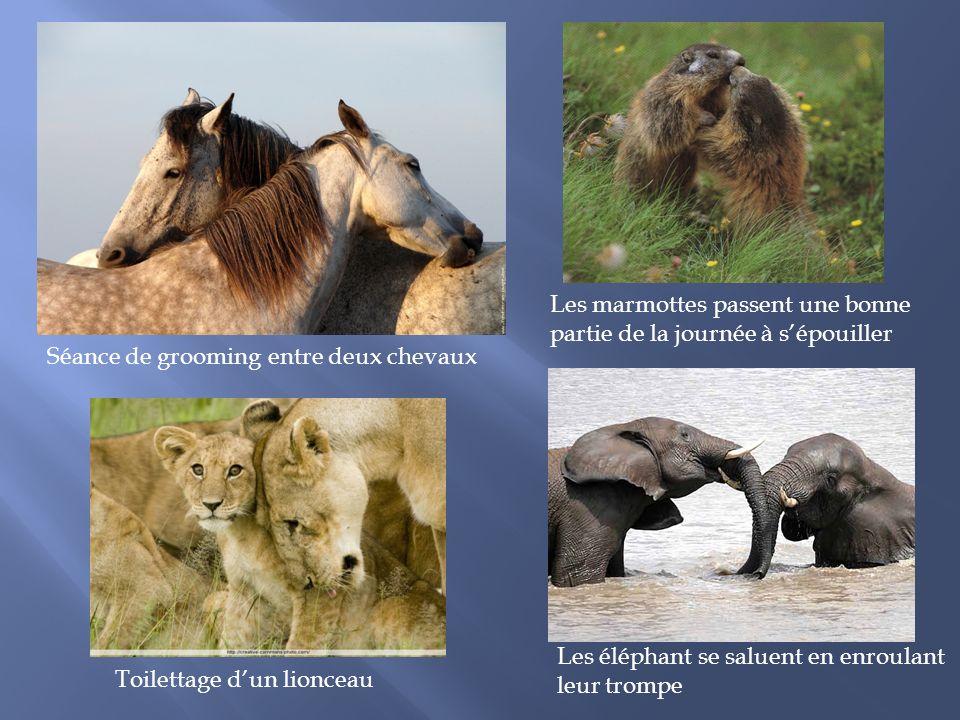 Séance de grooming entre deux chevaux Les marmottes passent une bonne partie de la journée à sépouiller Toilettage dun lionceau Les éléphant se saluent en enroulant leur trompe