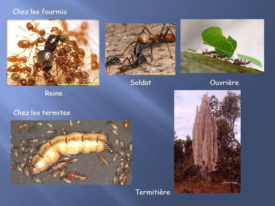 Reine SoldatOuvrière Chez les termites Chez les fourmis Termitière