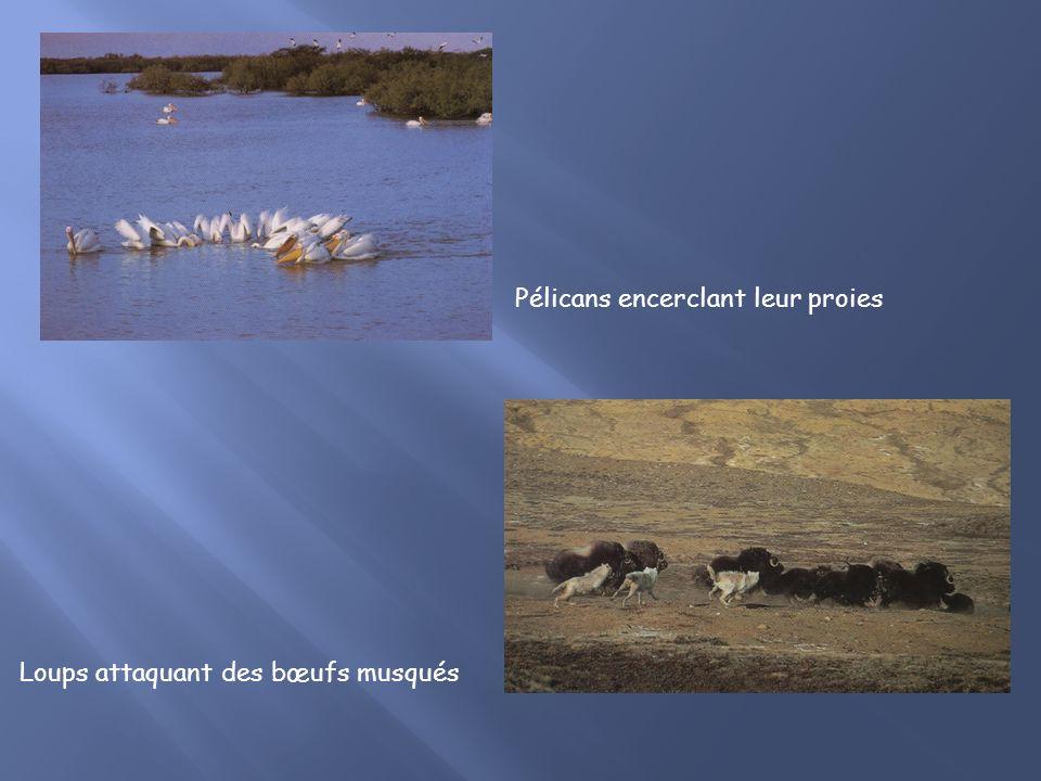 Pélicans encerclant leur proies Loups attaquant des bœufs musqués