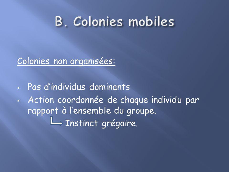 Colonies non organisées: Pas dindividus dominants Action coordonnée de chaque individu par rapport à lensemble du groupe.