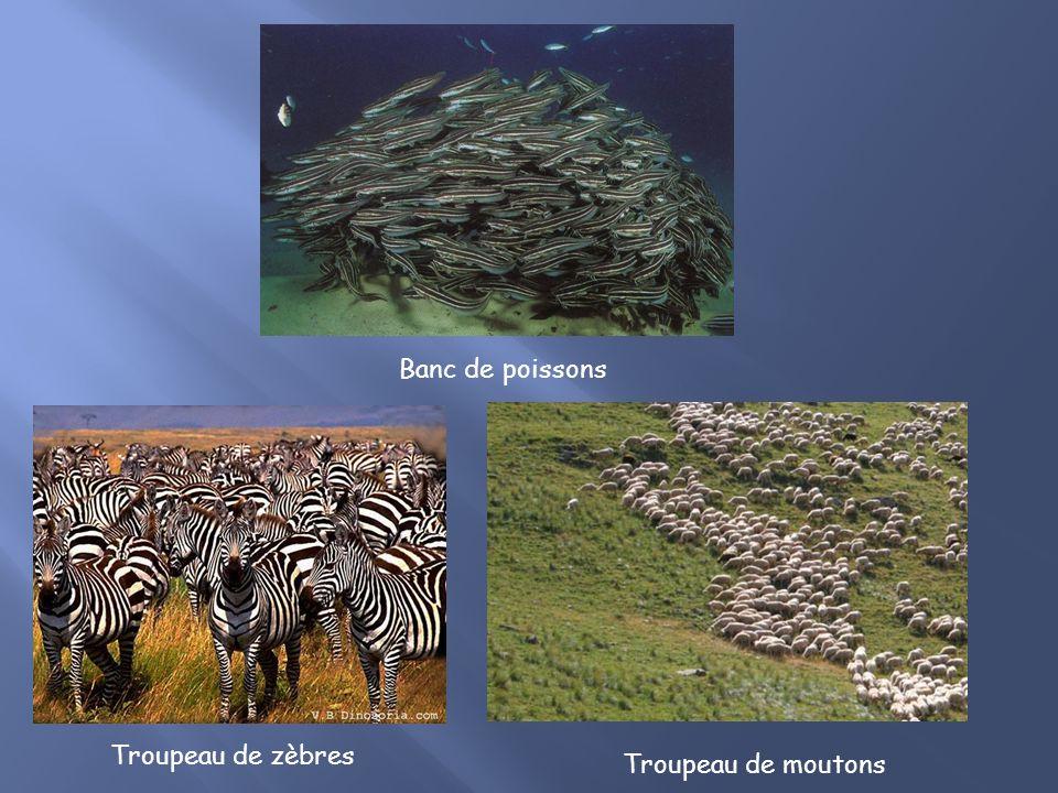 Troupeau de zèbres Troupeau de moutons Banc de poissons