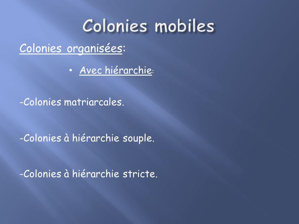 Colonies organisées: Avec hiérarchie : -Colonies matriarcales.