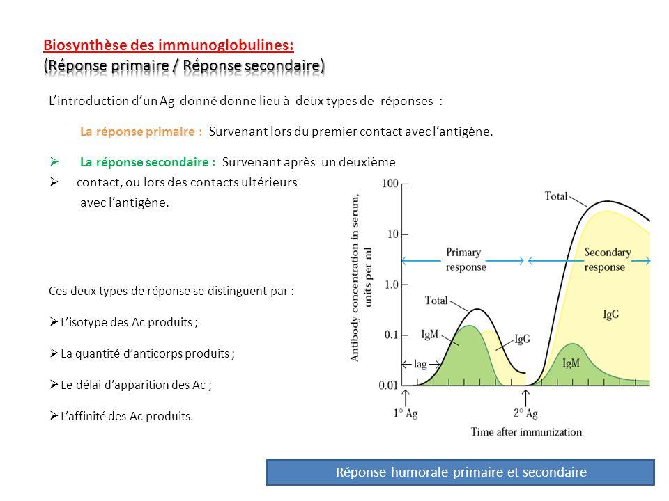 Réponse primaireRéponse secondaire Délai de réponse 5 à 10 J1 à 3 jours Amplitude de réponse Faible100 à 1000 fois plus forte que la réponse primaire Isotype des Ac produits IgM > IgGPrédominance des IgG dans certaines conditions : IgA, IgE Affinité des Ac produits FaibleForte Nature des Ag Inducteurs Ag T dépendants et Ag T indépendants Ag T dépendants Type dimmunisation nécessaire Haute dose dAg, de façon optimale avec des adjuvants Faible dose dAg, sans besoin dadjuvant LB répondeurs activés naïfsMémoire