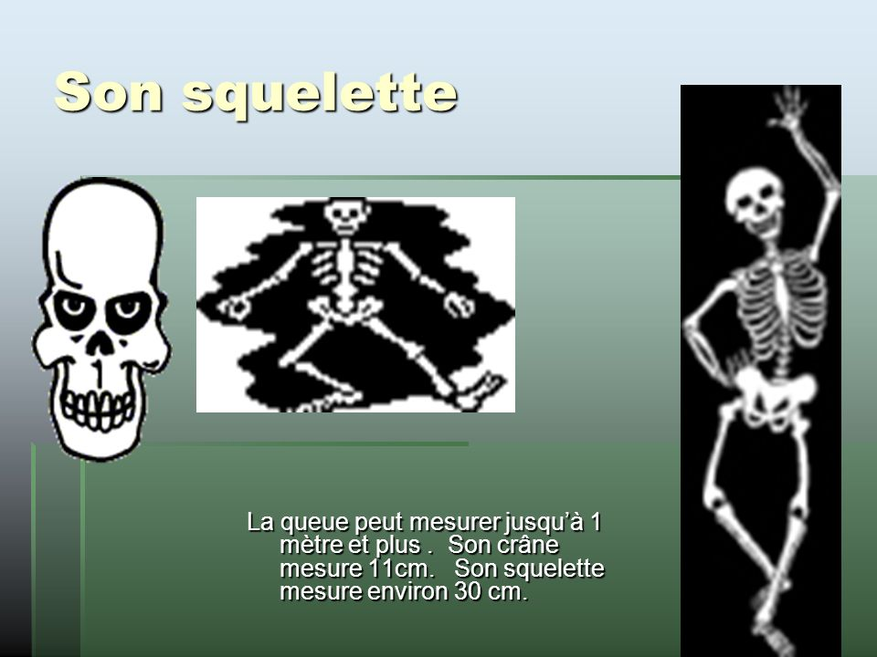 Son squelette La queue peut mesurer jusquà 1 mètre et plus.