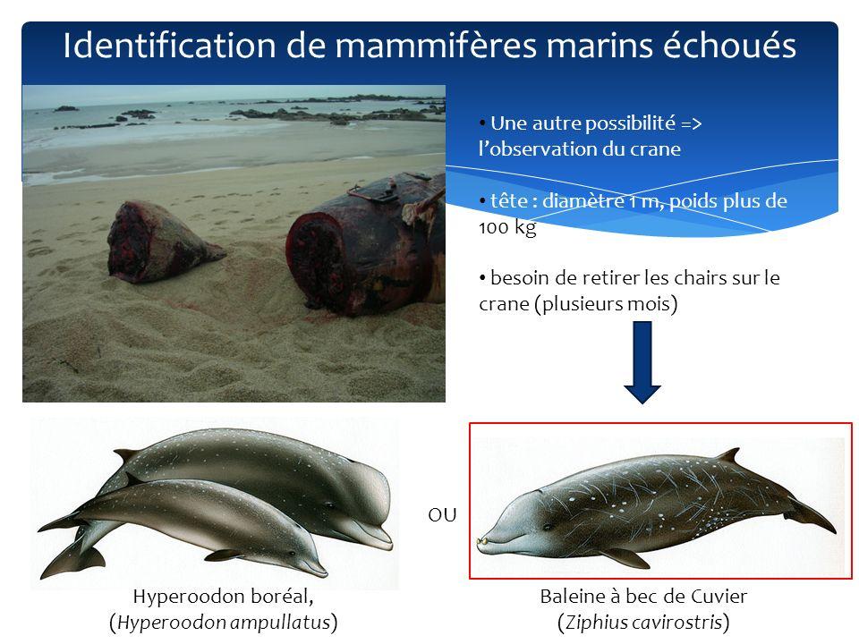 Un autre exemple : échouage sur lile de Sein en mai 2011 Identification de mammifères marins échoués © RNE