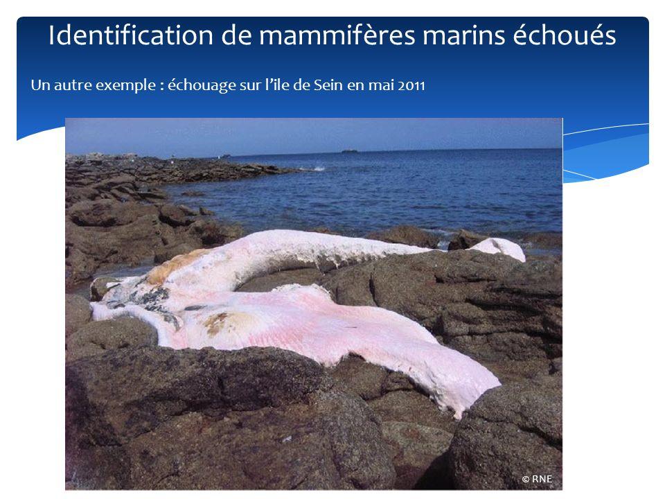 Roqual commun (Balaenoptera physalus) © Tous droits réservés © RNE Projet Bold : UMMB (Unidentified Marine Mammals of Brittany) : actuellement 10 individus de 6 espèces Identification de mammifères marins échoués