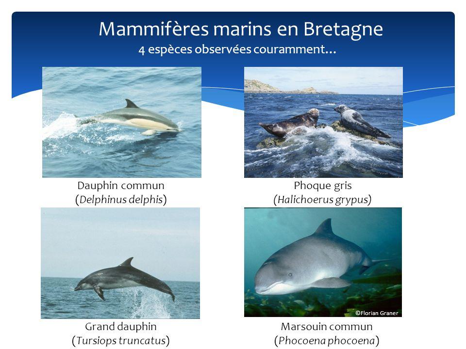 Mammifères marins en Bretagne Dauphin tacheté de lAtlantique (Stenella frontalis) Phoque à capuchon (Cystophora cristata) Cachalot (Physeter macrocephalus) … et des observations surprenantes