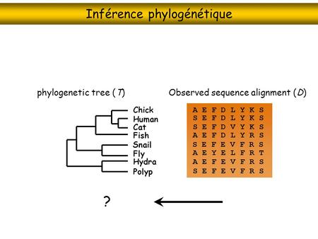 Inférence phylogénétique Observed sequence alignment (D)phylogenetic tree (T) Chick Cat Fish Snail Fly Hydra Polyp Human A E F D L Y K S S E F D L Y K.