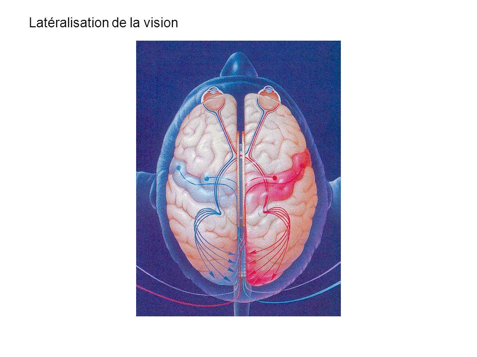 Latéralisation de la vision