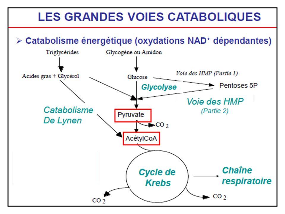 Autres catabolismes Par des séquences de réaction assez courtes, les autres substrats tels que les pentoses, les aminoacides… sont transformés en un intermédiaire de la glycolyse ou du cycle de Krebs Celui-ci est alors dégradé en CO 2 Ces réactions produisent de lénergie qui est récupérée sous forme dATP, mais ce nest pas leur rôle essentiel.
