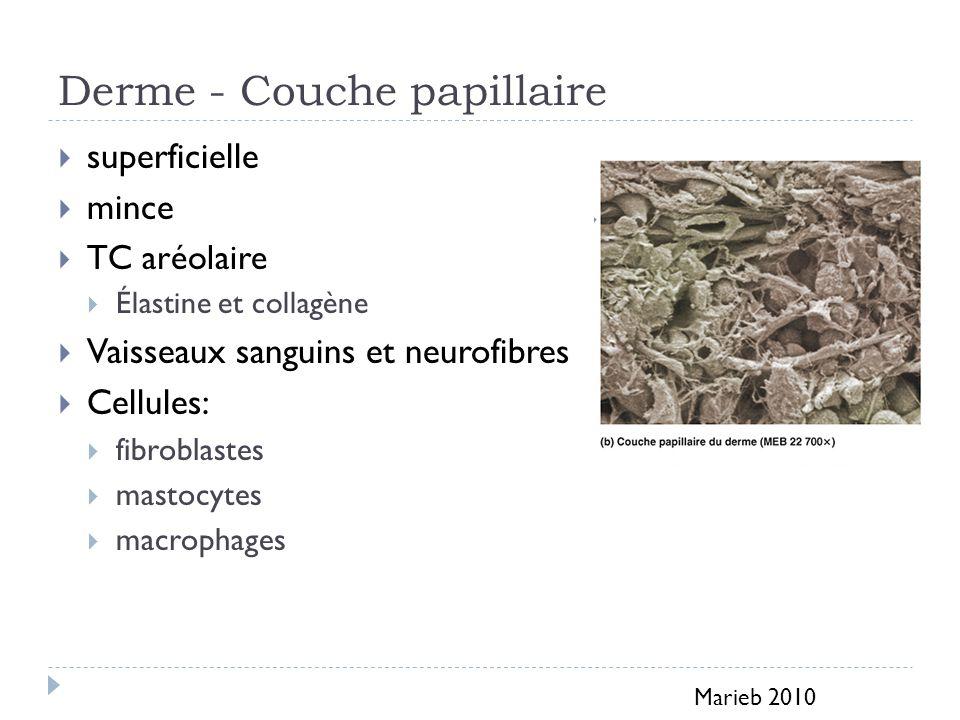 Derme - Couche réticulaire plus épaisse tissu conjonctif dense irrégulier Elle contient moins de cellules et plus de fibres (important réseau de fibres élastiques) Marieb 2010