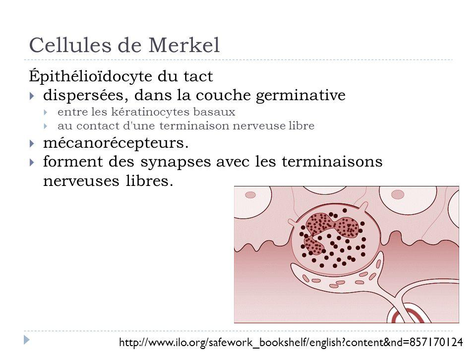 Kératinocytes Mitose continue Facteur de croissance Relié par des desmosomes Kératine = protéine fibreuse – protection barrière physique barrière biologique barrière chimique Fonctions métaboliques Neutralisation Activation dhormones stéroïdiennes