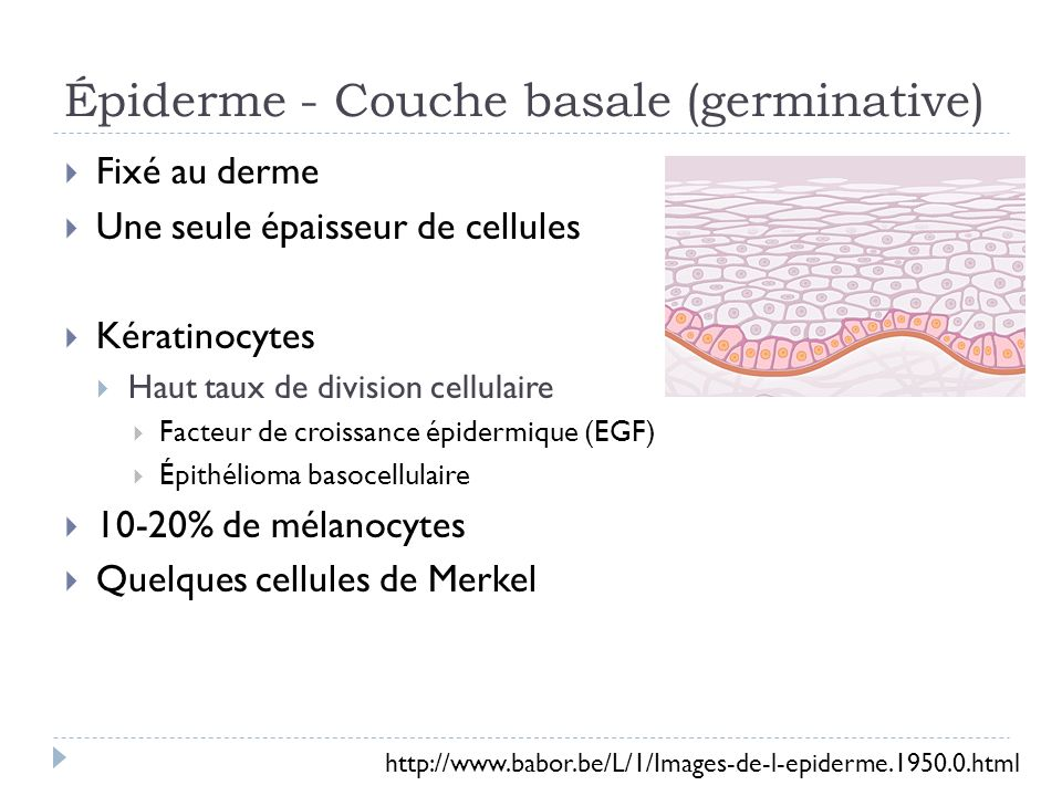 Épiderme – Couche épineuse 8-10 couches de cellules Apparence dépines – filaments intermédiaires Cellules rétrécissent Cellules reliées par des desmosomes Épithélioma spinocellulaire kératinocyte http://www.babor.be/L/1/Images-de-l-epiderme.1950.0.html