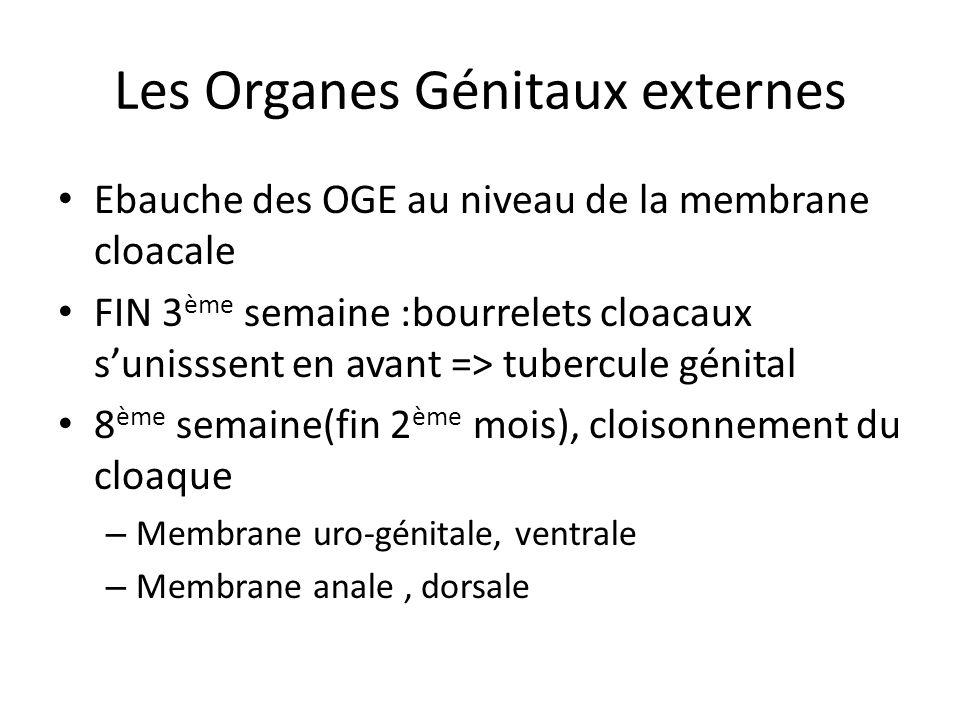 Les organes génitaux externes – Ouverture de la membrane urogénitale=>fente urogénitale – Les bords de la membrane=replis génitaux (en dedans des bourrelets génitaux A la fin du 2 ème mois, les OGE sont identiques dans les deux sexes