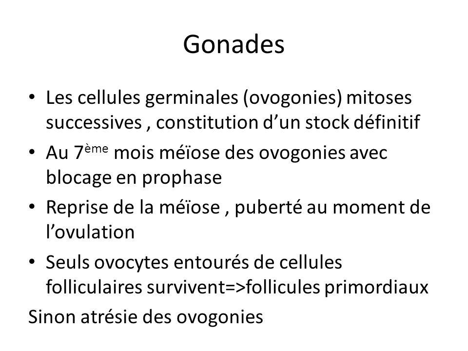 Gonades Cellules mésenchymateuses=>cellules intertitielles du stroma ovarien Lépithélium de surface persiste Lovaire primitivement lombaire migre progressivement dans le petit bassin