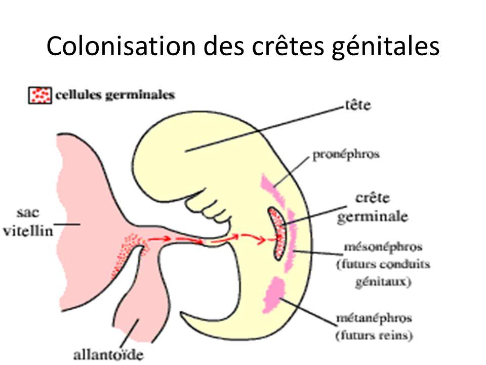 Formation des Gonades Colonisation des crêtes génitales=> prolifération de lépithélium coelomique et cellules du mésonéphros Constitution des cordons sexuels primitifs – Territoire cortical, superficiel – Territoire médullaire, profond