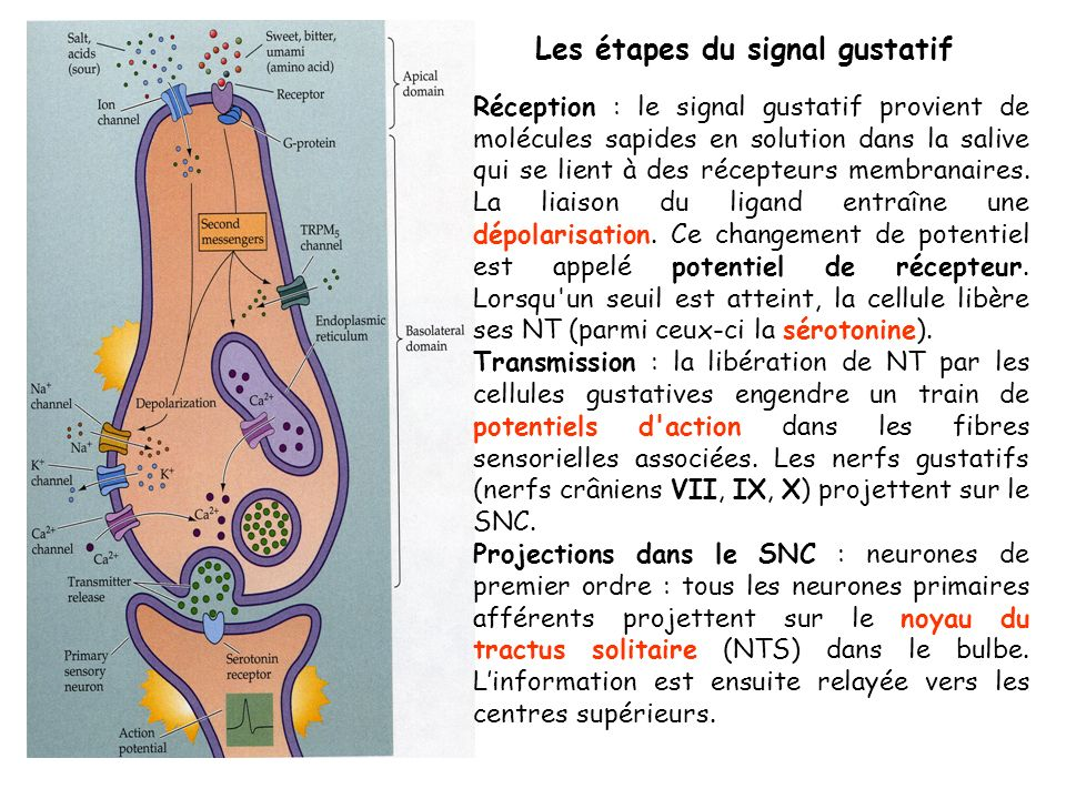 salé acide sucré umami stimulus = Na+ canaux Na+ partie antérieure de la langue stimulus = H+ proton passe par un canal Na+ ou H+ il peut bloquer canal K+ récepteur associé à une protéine G récepteurs fortement exprimés en papilles invaginées et foliées récepteurs hétéromères constitués de différents sous-unités, associées à des protéines G amère