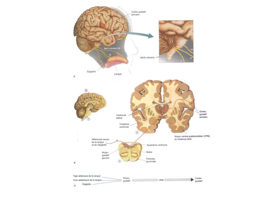 Voies centrales du système gustatif suite … Les neurones gustatifs, constituant pour partie les nerfs VII, IX et X, se terminent dans le noyau gustatif du bulbe rachidien, les corps cellulaires de ces neurones étant localisés respectivement dans des ganglions crâniens.