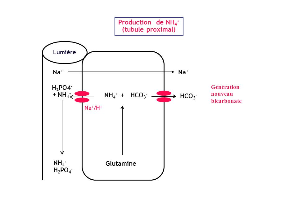 HCO 3 - NH 4 + HCO 3 - Transport de HCO 3 - et NH 4 + le long du néphron 75-80% 15-20% Tubule proximal: - réabsorption de phosphate - transport d'anions organiques