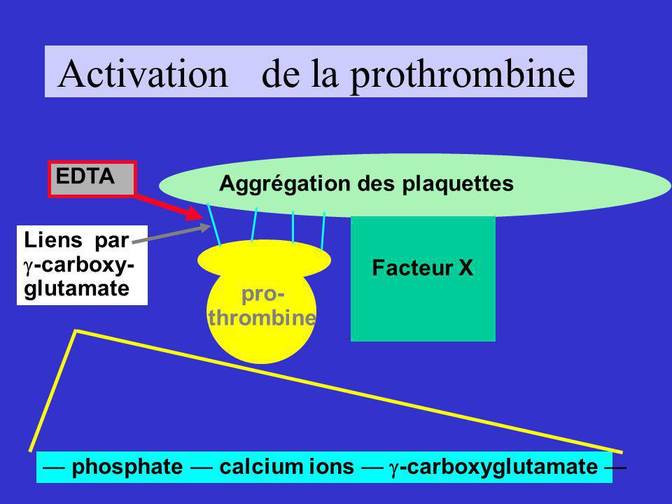 Activation de la prothrombine Aggrégation des plaquettes Liens par -carboxy- glutamate Facteur Xa Thrombine
