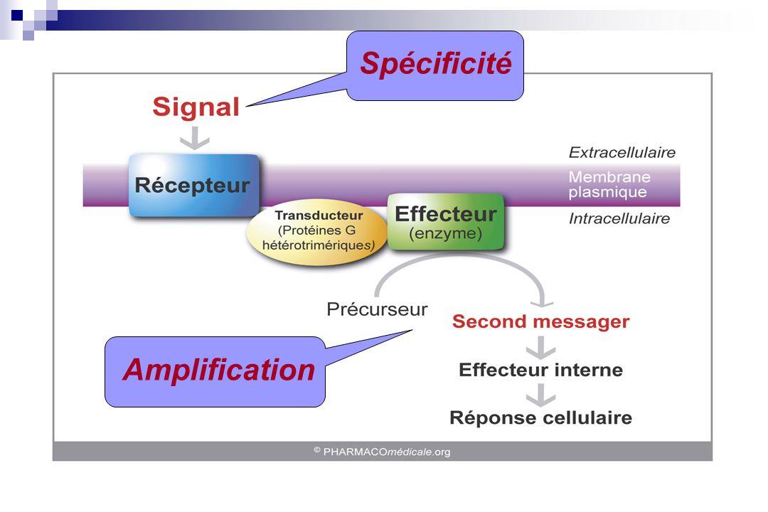 Classification des récepteurs Récepteurs membranaires Liaison directe avec un effecteur (canal ou enzyme) Récepteurs-canaux : R.