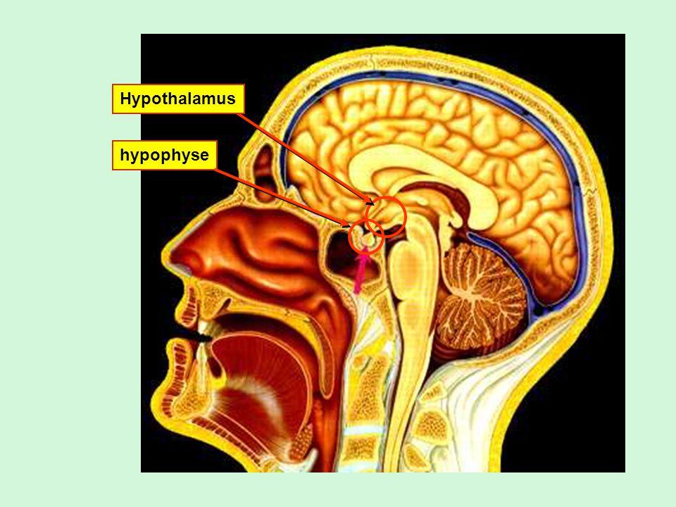 Hypothalamus = structure du système nerveux (diencéphale) = glande endocrinien Secrétions de lhypothalamus = hormones qui peuvent stimuler ou inhiber les secrétions de lhypophyse.