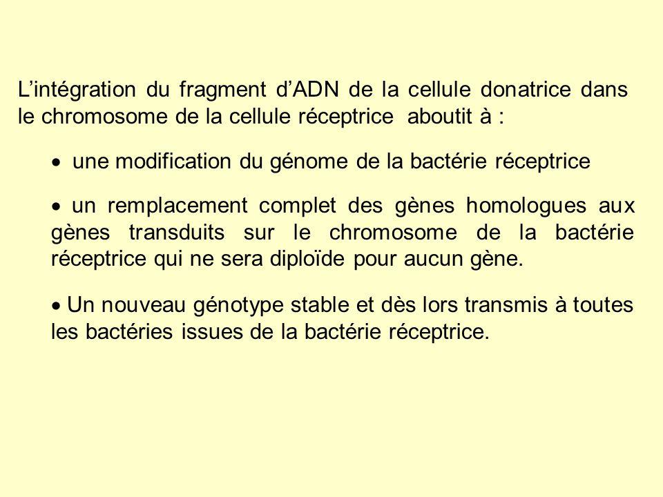 1.2.La transduction ABORTIVE Lorsque lADN injecté ne sintègre pas dans le chromosome, ce qui est fréquent, les marqueurs transférés sexpriment transitoirement jusquà ce que lADN soit dilué au cours des divisions bactériennes successives : on dit que la transduction est abortive.