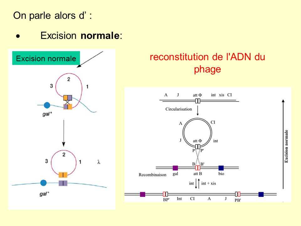 Excision anormale: formation d un ADN phagique défectueux contenant le locus gal ou le locus bio du génome bactérien